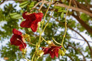 פריחה-מקסימה-של-עץ-הקיגליה