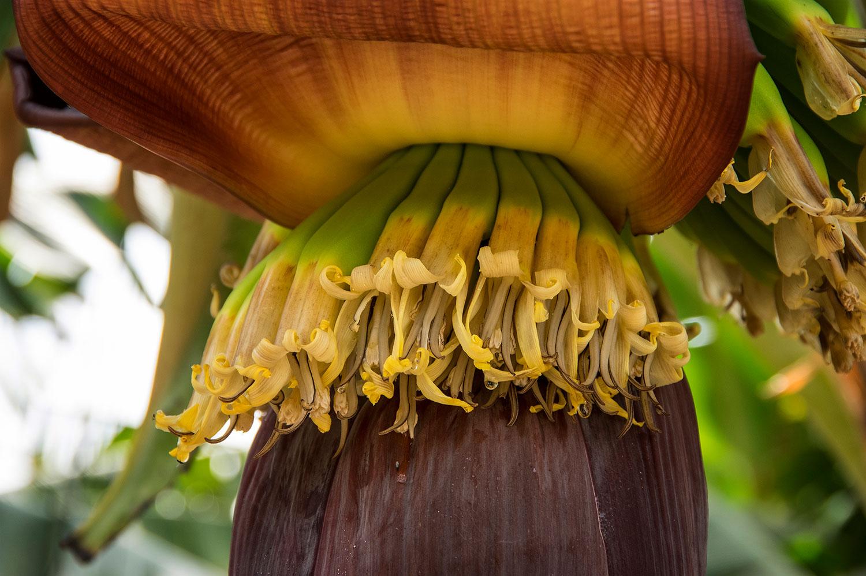 פרח הבננה