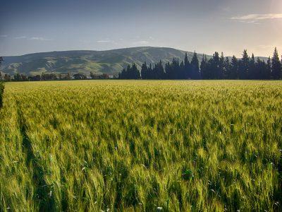 שדה חיטה - והחיטה צומחת שוב